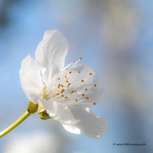 Frühling-Obstblüten