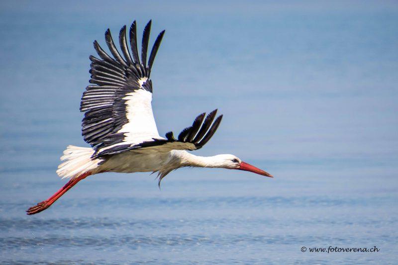 Storch im Flug–das Fotomotiv ist als Karte erhältlich