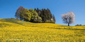 Fotomotiv einer Frühlingslandschaft mit Löwenzahnwiese