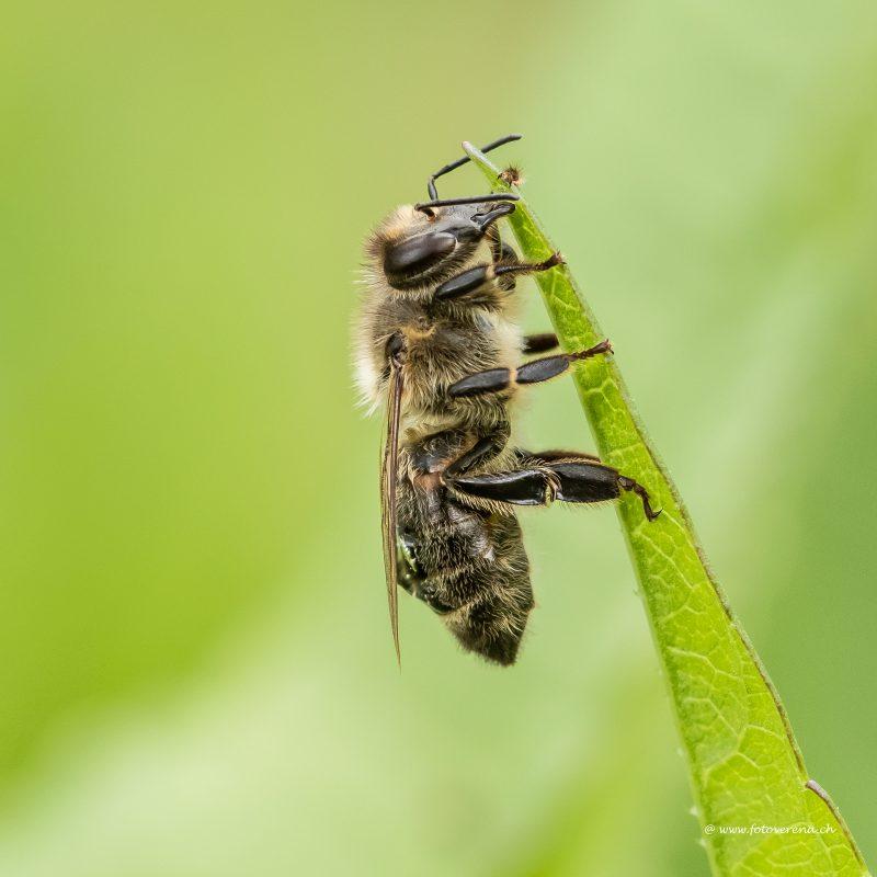 die Biene am Grashalm als Motiv für diese Fotokarte