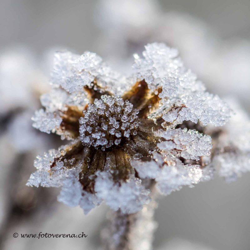 eine kleine übriggebliebene Herbstblüte im Winterkleid