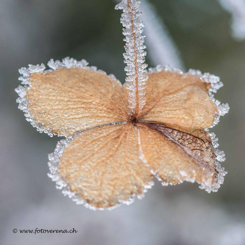 verwelkte braune Hortensienblüte mit zartem Frostrand