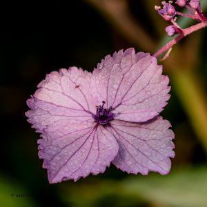 Fotokarte mit einer lila Hortensienblüte im Morgentau