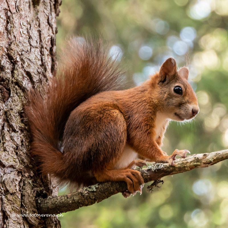 für den Tierliebhaber eine Fotokarte mit Eichhörnchen